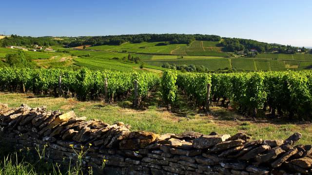 Au cœur du vignoble de la Côte chalonnaise. © Lesley Williamson.