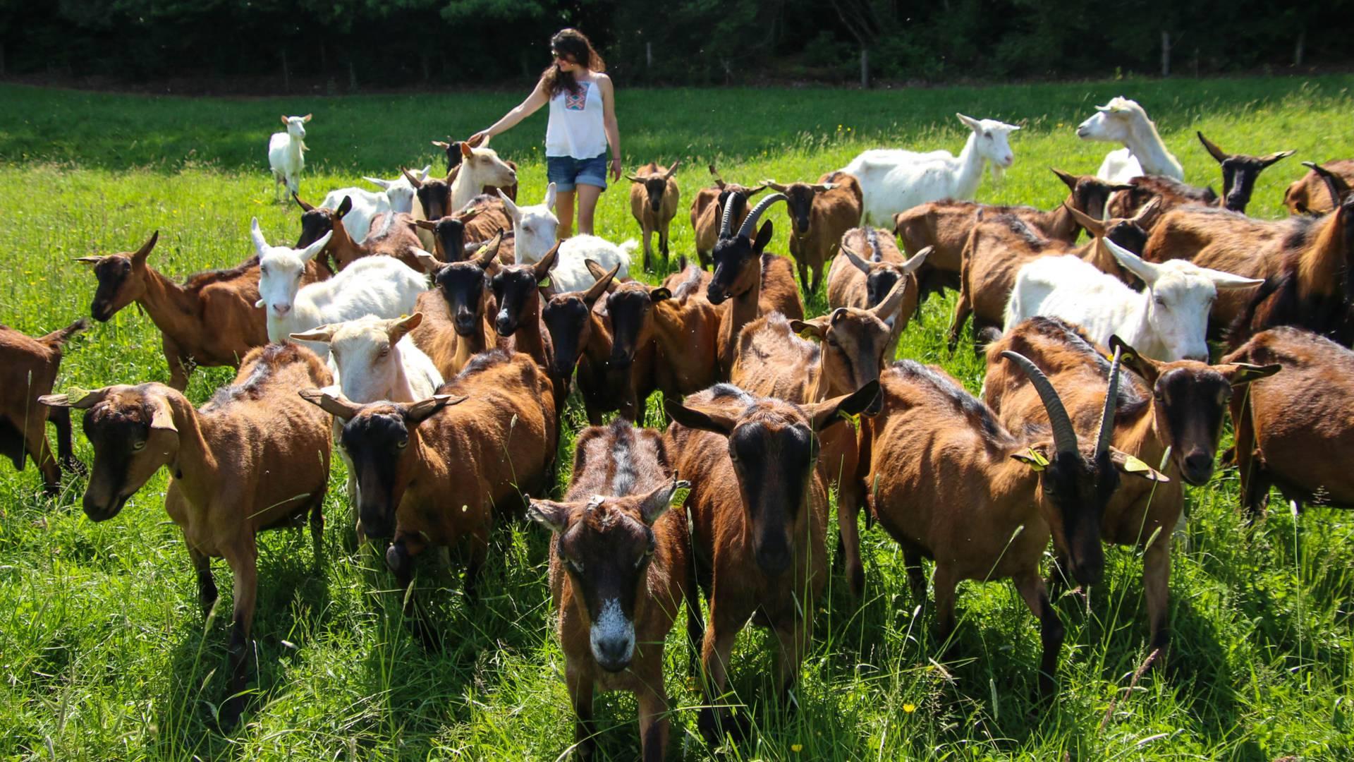 Parmi les chèvres. © Lesley Williamson.