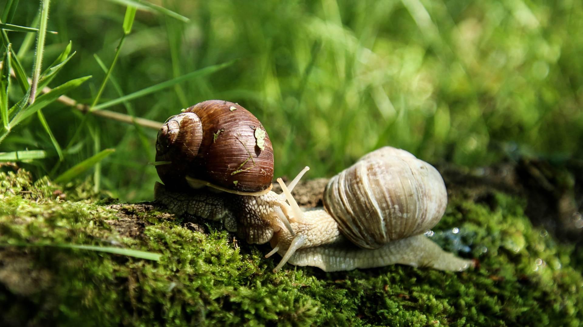 L'escargot de Bourgogne ! © Lesley Williamson.