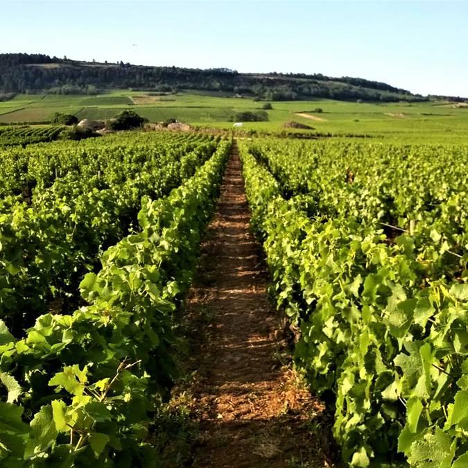 Au mileu des vignes à Sampigny-les-Mara,ges. © Destination Saône-et-Loire, Régis Lavina.