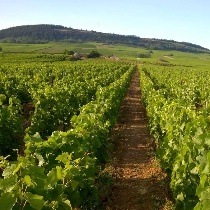 Vignoble de la côte chalonnaise à Sampigny-les-Maranges. © DSL, Régis Lavina.